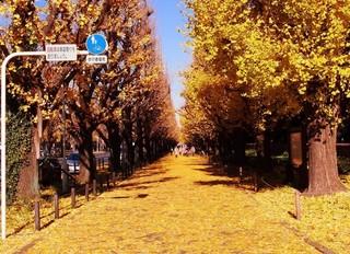 明治神宮(外苑)のイチョウ並木で、一番美しい紅葉が見られる時期-2.jpg
