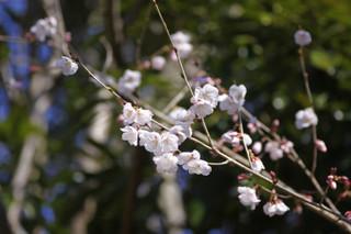 豆桜.jpg